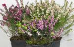 Эрика растение — посадка и уход в открытом грунте, в горшках, видео