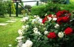 Голландские розы — выращивание, посадка, размножение, уход, видео
