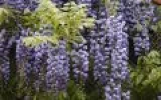 Уход и выращивание глицинии в Подмосковье, подборка сортов