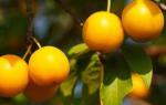 Выращивание алычи — посадка, полив, подкормка, обрезка, видео