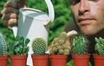 Кактусы — секреты ухода, пышное цветение, освещение, полив, видео