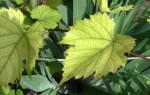 Светло-зеленый цвет листьев винограда, лечение заболеваний, уход в июне + видео