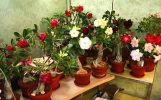 Адениум дома — сорта обессум, тучный, арабикум, роза пустыни, цветок, фото, видео