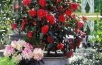 Камелия японская — уход за цветком в домашних условиях, фото, видео