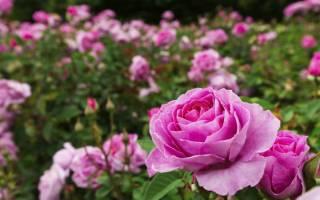 Когда сажать розы в открытый грунт, сроки весенней, осенней посадки