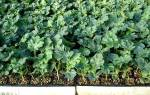 Когда сажать арбузы: сроки для рассады и открытого грунта, видео