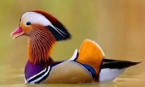 Утка мандаринка — где живет, чем интересна, разведение, видео