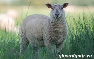 Все о овцах, читайте подробнее