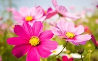 Цветы космея — разновидность, правила выращивания, видео