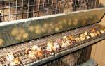 Комбикорм для перепелов — цена, состав, рецепты приготовления своими руками, кормление перепелов бройлерным комбикормом, видео
