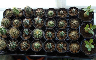 Посев семян кактусов — как и когда сеять, пересадка, уход, видео
