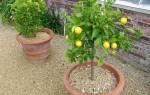 Лимон комнатный — способы увеличения плодоношения, видео