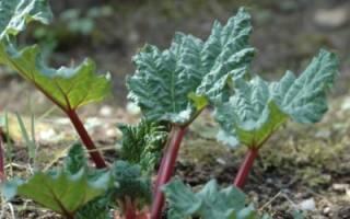 Ревень Виктория — выращивание из семян, сроки посева на рассаду, в открытый грунт, видео