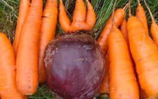 Выращиваем морковь и свеклу на одной грядке + видео