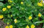 Лапчатка кустарниковая — характеристики растения, посадка, видео