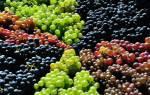 Фото и описание лучших сортов винограда для рынка + видео