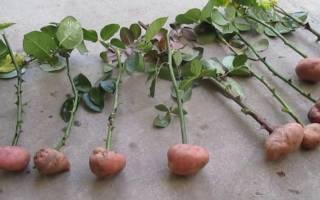 Выращивание роз дома в картошке, видео