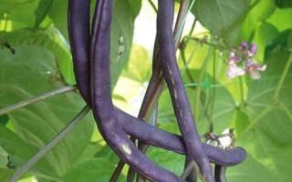 Черная фасоль — польза и вред, полезные свойства, как растет, как хранить, видео