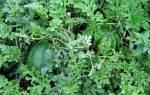 Секреты выращивания больших арбузов — подробная инструкция