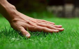 Как удобрять газон аммиачной селитрой после зимы, видео