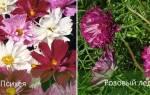 Космея махровая: особенности, популярные сорта, нюансы выращивания, видео