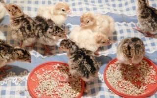 Птицеводство: содержание и разведение индюков, видео
