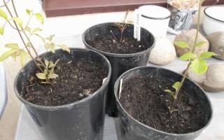 Клематисы — посадка и уход в открытом грунте весной, осенью, в Подмосковье, видео