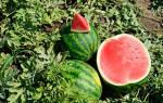 Арбуз от семечка до крупной ягоды — этапы выращивания, видео