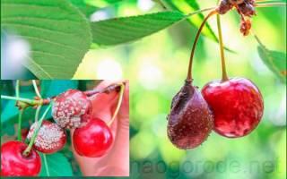 Болезни войлочной вишни — описание с фотографиями и способы лечения монилиоза, почему сохнет вишня после цветения, видео