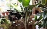 Стрелиция — размножение семенами, делением корней, боковыми побегами, пересадка и выбор грунта, видео