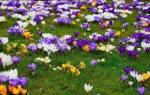 Выращивание крокусов — цветущий ковер на участке, видео