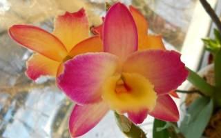 Эпифитная орхидея дендробиум — особенности растения и период цветения, видео