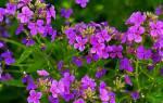 Цветок ночная фиалка: фото сортов, выращивание, как правильно ухаживать, видео