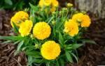 Кореопсис Золотой шар, описание растения, выращивание