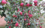 Яблоня Серебряное копытце — описание сорта, посадка и уход, видео