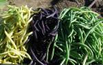 Стручковая фасоль — как посадить, вырастить, когда убирать с грядки, видео