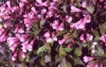 Вейгела — фото и описание сортов: Нана пурпуреа, Саммер Ред, Александра, Карнавал, Виктория, видео