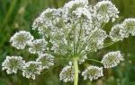 Полезные свойства семян аниса, инструкция по применению, видео