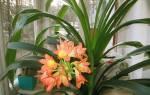 Кливия — фото цветка растения, почему не цветет в домашних условиях и что делать для выброса цветоноса, видео