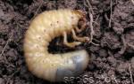 Майский жук, личинка — как выглядит, что ест, как бороться, вред, видео