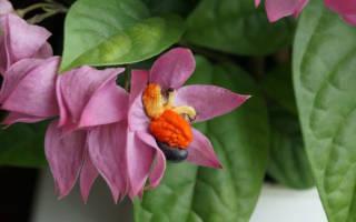 Клеродендрум — уход в домашних условиях, как ухаживать, чтобы растение цвело, фото видео