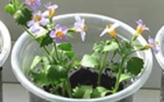 Выращивание бакопы — когда сеять семена, уход за рассадой, видео