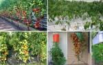 Как улучшить вкус помидоров, соблюдая агротехнику выращивания