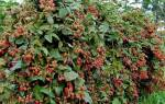Ежевика без шипов: сорта для садового участка, описание, видео
