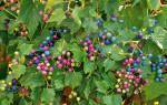 Ампелопсис виноградовник, разновидности растения, посадка и уход