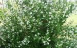 Жасмин карликовый садовый — чубушник земляничный, характеристики, видео