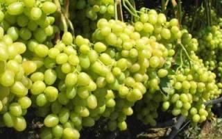 Уход за виноградом после цветения, виды работ, видео