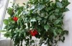 Китайская роза комнатная (гибискус) — выращивание, размножение, видео