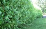 Ивовая живая изгородь — уход, стрижка, формировка, видео