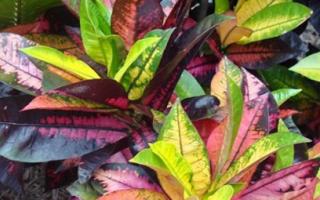 Кротон — фото видов кодиеума и как цветет растение, видео